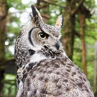Sitka-Narwhal Great Horned Owl